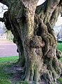 Lucheux arbre des épousailles 2.jpg