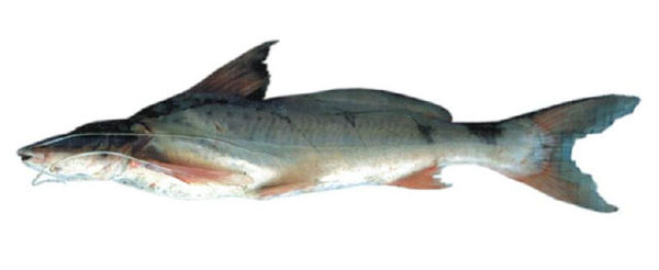 ... of freshwater long whiskered catfish that inhabits the basin of the