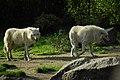 Lupi at Berlin zoo (2520101875).jpg
