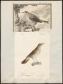 Luscinia vera - 1700-1880 - Print - Iconographia Zoologica - Special Collections University of Amsterdam - UBA01 IZ16200224.tif