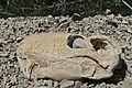 Lycaenops Skull (31940166904).jpg