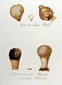 Lycoperdon caelatum — Flora Batava — Volume v9.jpg
