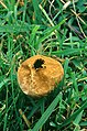 Lycoperdon sp. after emitting spores (29461454173).jpg