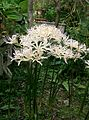 Lycoris sp1.jpg