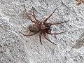 Lycosoides coarctata 14691592.jpg