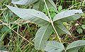Lysimachia vulgaris20090812 072.jpg