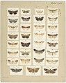 MA I437906 TePapa Plate-XLV-The-butterflies full.jpg