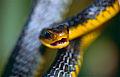 Machete Savane Snake (Chironius carinatus) (10532632723).jpg