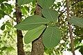 Magnolia campbellii in Eastwoodhill Arboretum (2).jpg