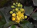 Mahonia aquifolium 2016-04-19 8022.jpg