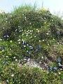 Malá Fatra, kvety v júni (8).jpg