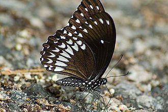 Euploea core - Image: Malabar Raven