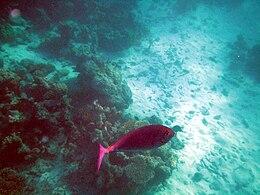 Maldives sleek unicornfish, Naso hexacanthus.jpg