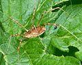 Male Hadrobunus grandis, Harvestman Opiliones, Sclerosomatidae - Flickr - gailhampshire.jpg