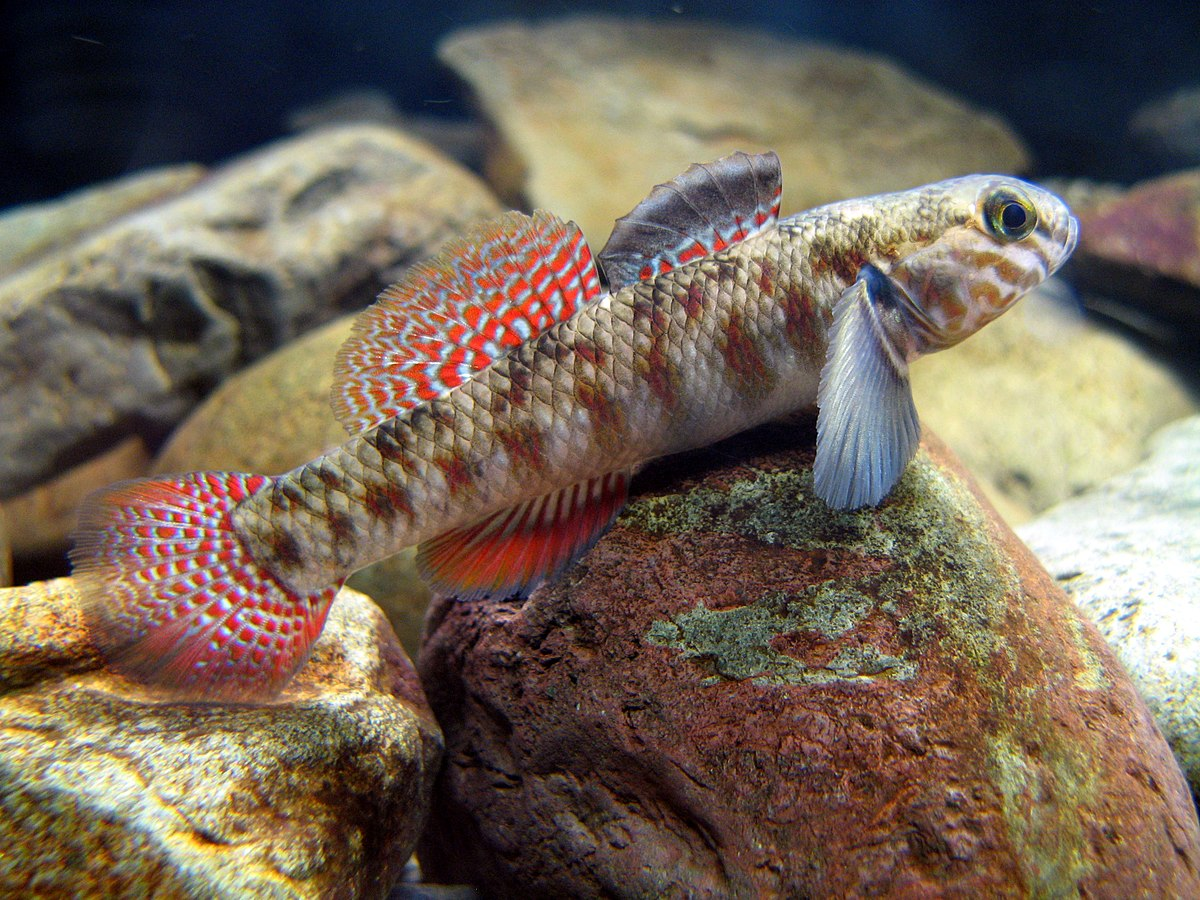 Redfin bully wikipedia Freshwater fish with red fins