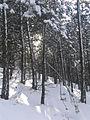 Maljen - Divčibare - detalj divcibarskih borova kod snegom.jpg