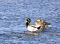 Mallard on Seedskadee National Wildlife Refuge (26314190147).jpg