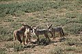 Mama African golden wolf and three cubs (16616692182).jpg
