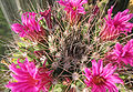 Mammillaria dixantho.jpg