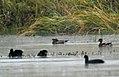 Mandarin Duck Aix galericulata by Dr. Raju Kasambe DSC 9110 (8).jpg