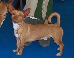 Andalusian Hound Maneto
