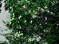 Mangga - panoramio.jpg