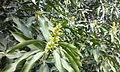 Mango-Flowering9.jpg