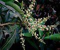 Mango flowers.JPG