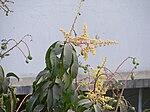 Mango inflorescence.jpg