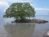 Mangrove auf Cayo Levisa, Kuba.jpg
