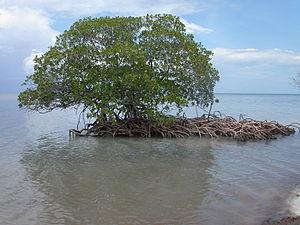 Mangrove auf Cayo Levisa, Kuba