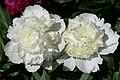 Mani ziedi My flowers - panoramio (47).jpg