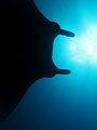 Manta ray silhouette at Manta Alley.jpg