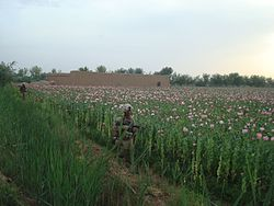 U.S. Marines on a patrol next to a poppy field in 2010