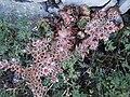 Matafoc flor 8 agost06 050.jpg