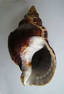 Ranellidae Family of gastropods
