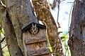McCall's Eastern screech owl (32896820368).jpg