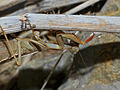 Mediterranean Mantis (Iris oratoria) female (10250655654).jpg
