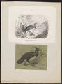 Megacephalon maleo - 1700-1880 - Print - Iconographia Zoologica - Special Collections University of Amsterdam - UBA01 IZ16900145.tif