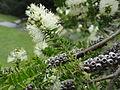 Melaleuca steedmanii CHCH 3.JPG
