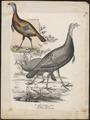 Meleagris americana - 1809-1845 - Print - Iconographia Zoologica - Special Collections University of Amsterdam - UBA01 IZ16900296.tif
