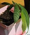 Meliosma pinnata seedling II, by Omar Hoftun.jpg