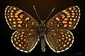 Melitaea diamina MHNT CUT 2013 3 27 Les Arques male dorsal.jpg