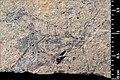 Mesocupes (Cainomerga) palaeocenicus holotype MNHN.F.A51117 direct lighting.jpg