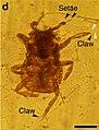 Mesophthirus engeli fig2 D.jpg