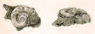 <i>Microtis tuberculata</i> species of plant