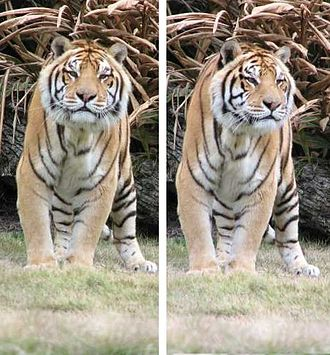 Mike the Tiger - Mike V, December 2006