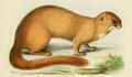 Milne Edwards - Mustela sibirica moupinensis.png