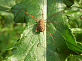 Mite larvae on legs Rilaena triangularis 222.jpg