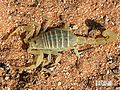 Mk60581 buthacus-arabicus.jpg
